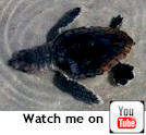 Cinnamon Beach - Palm Coast,Baby turtle, picture taken by one of our guests.